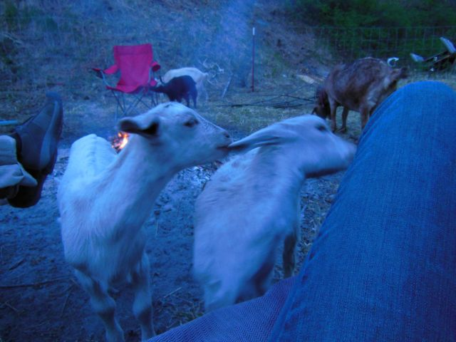goats by the fire